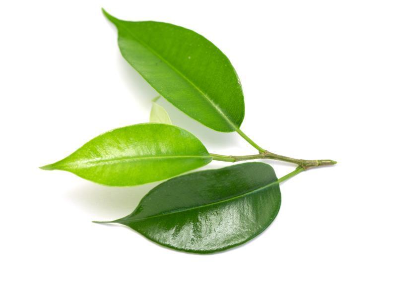 Kokablätter und die Kokapflanze - Medizin oder Droge? viventura