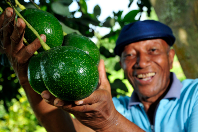 Avocado-Ernte Quelle: wikimedia/Neil Palmer Photography
