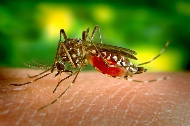 Moskitos in Peru können Krankheiten wie Dengue übertragen.